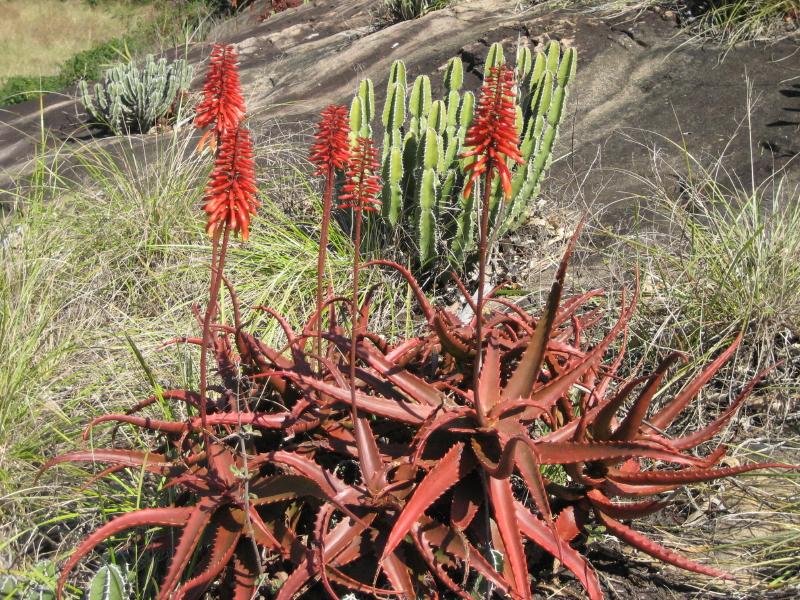 Aloe cameronii 2