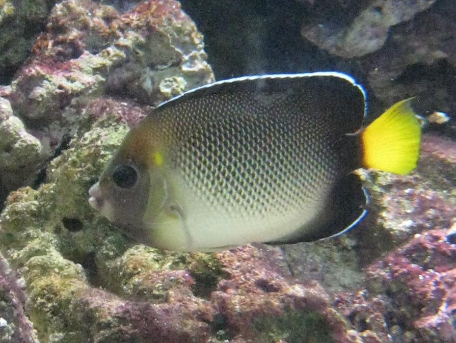apolemichthys xanthurus wikipedia