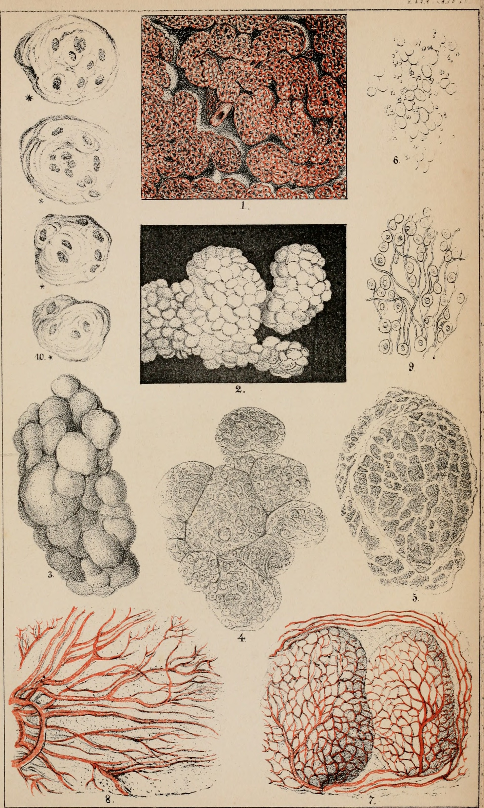 File:Arthur Hill Hassalls mikroskopische Anatomie des menschlichen ...