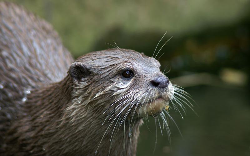 Otter - Simple English Wikipedia, the free encyclopedia