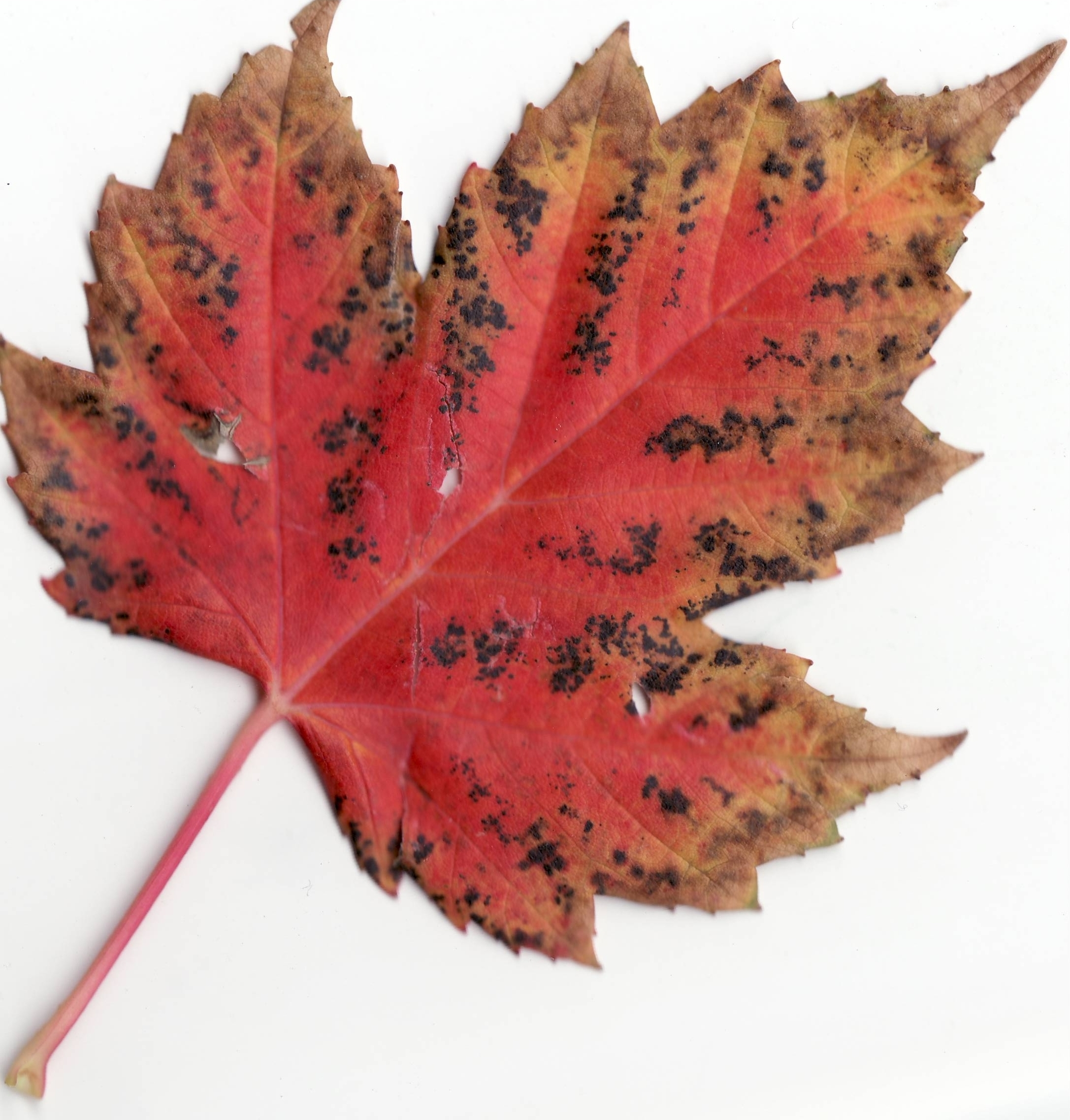 Description Autumn Rocky Mountain Maple Leaf.jpg