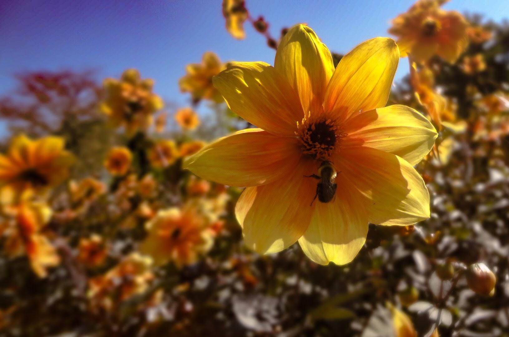 File:Bee on Flower at Longwood Gardens.jpg - Wikimedia Commons