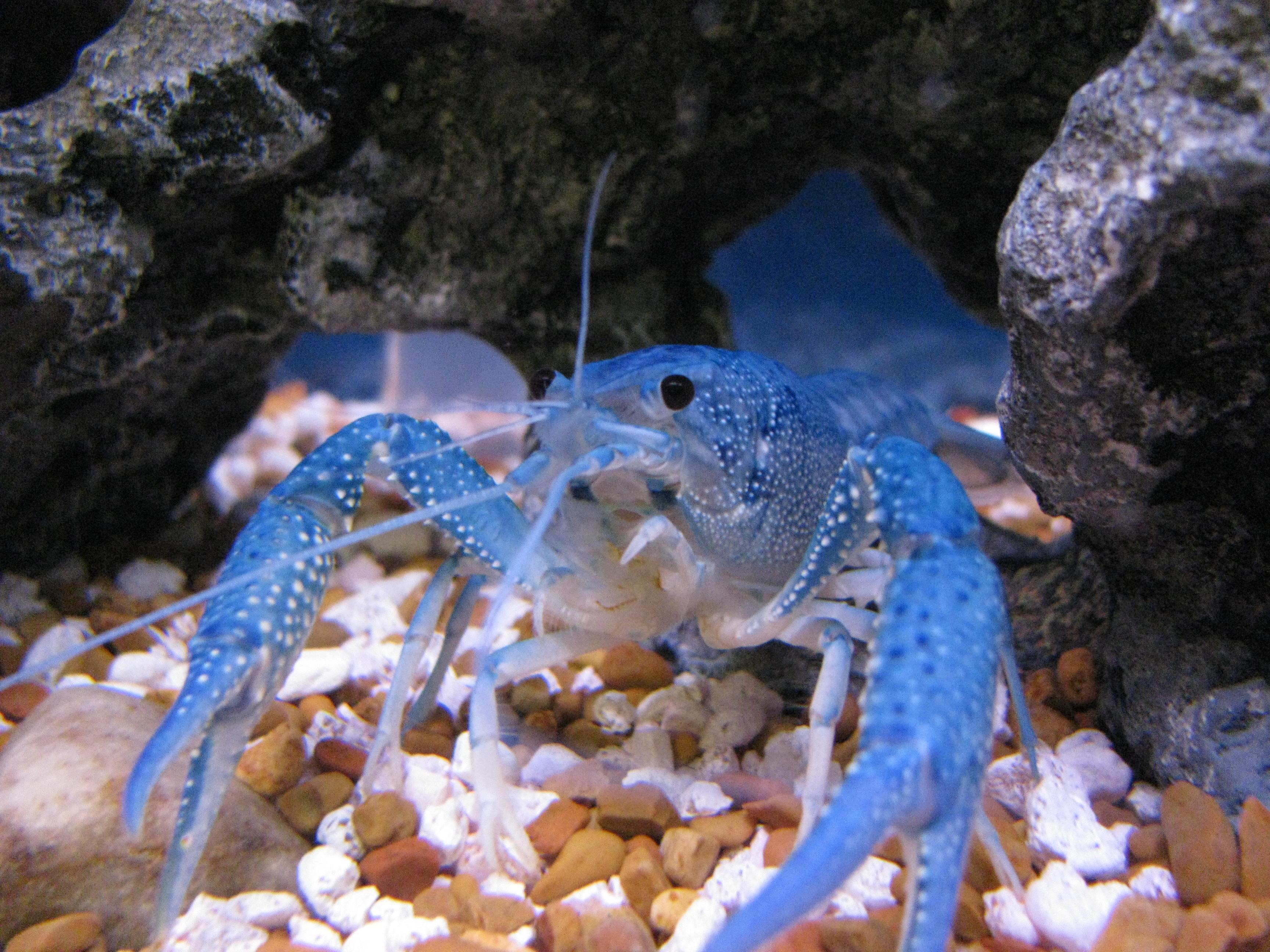 Most exotic freshwater aquarium fish land of fish for Blue fish aquarium