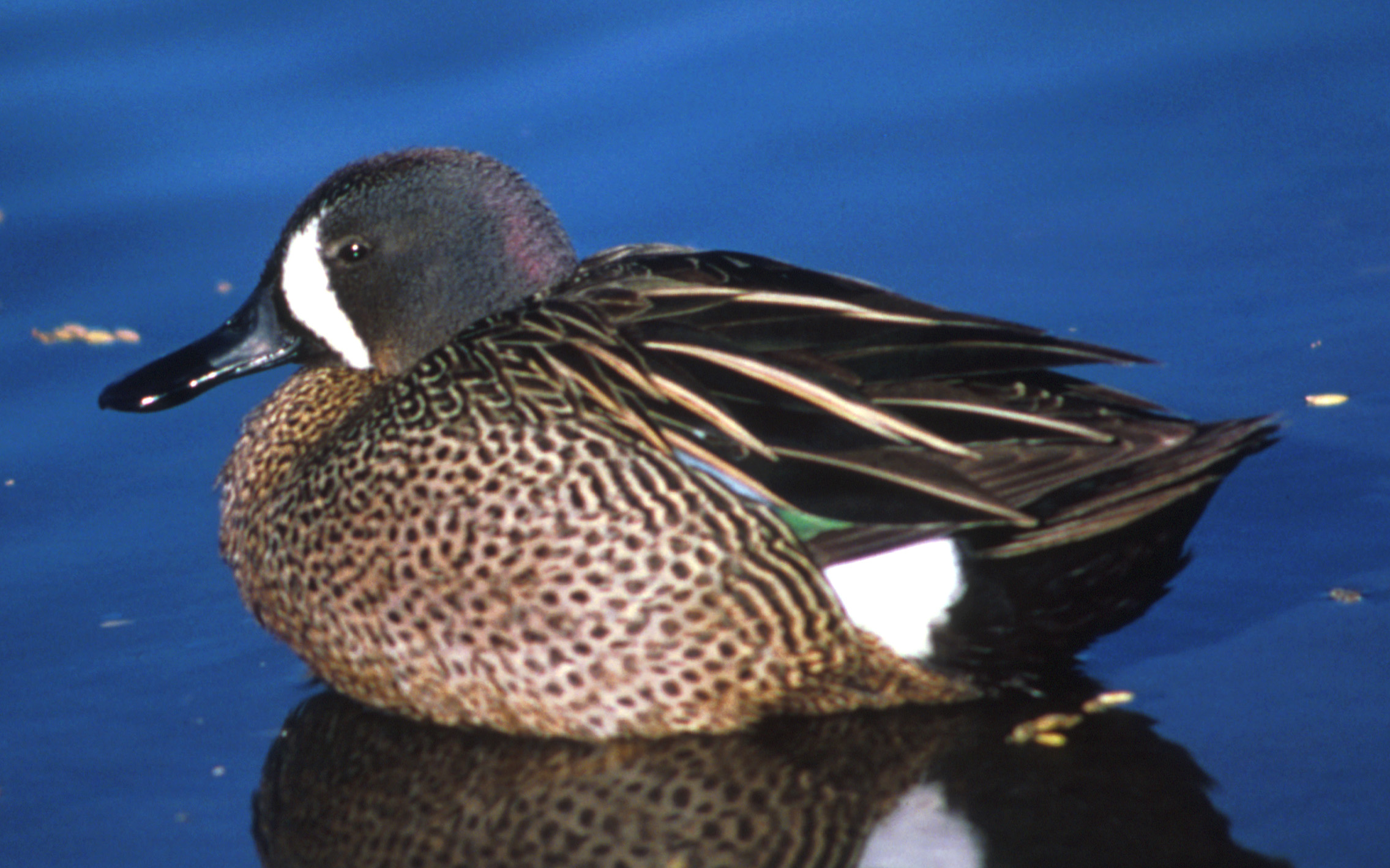 The Blue-winged Teal is the commonest of the m...
