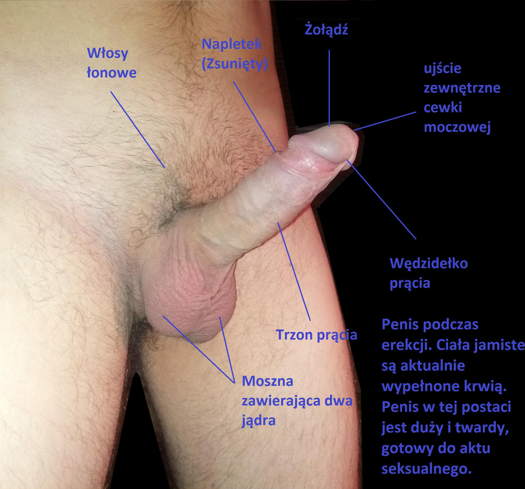 Glans Penis