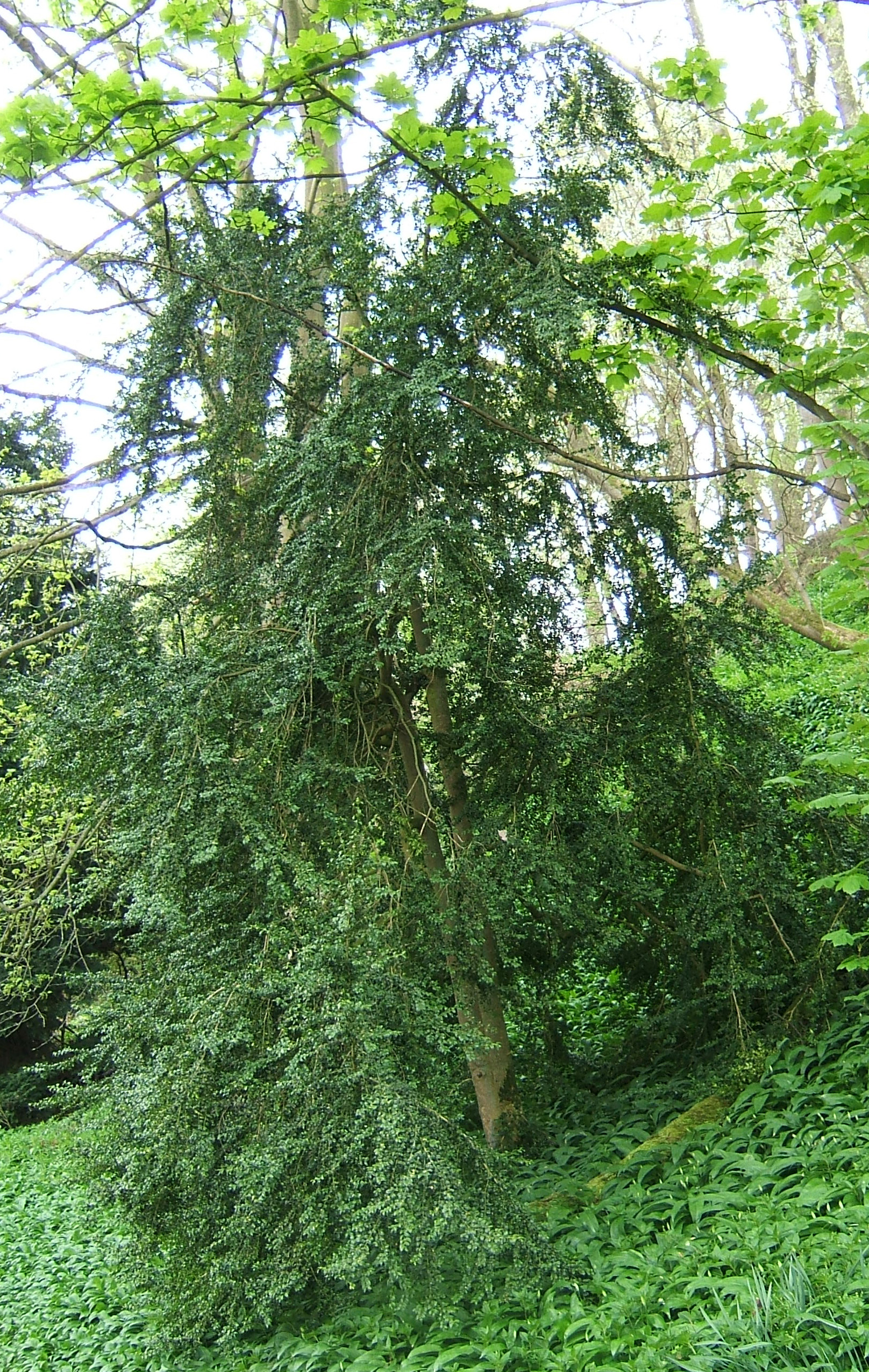 52105a09b Buxus sempervirens - Wikipedia