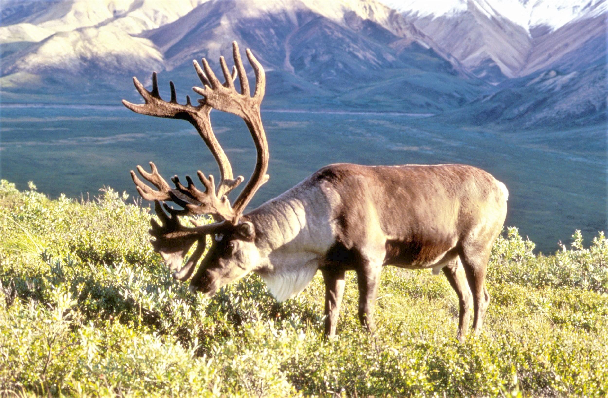 File Caribou Jpg Wikimedia Commons
