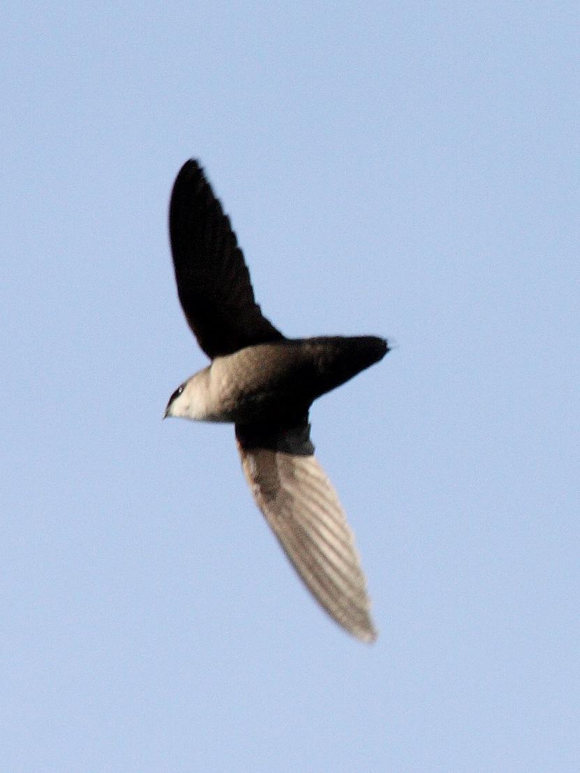 Schornsteinsegler – Wikipedia Bird Nest With Bird