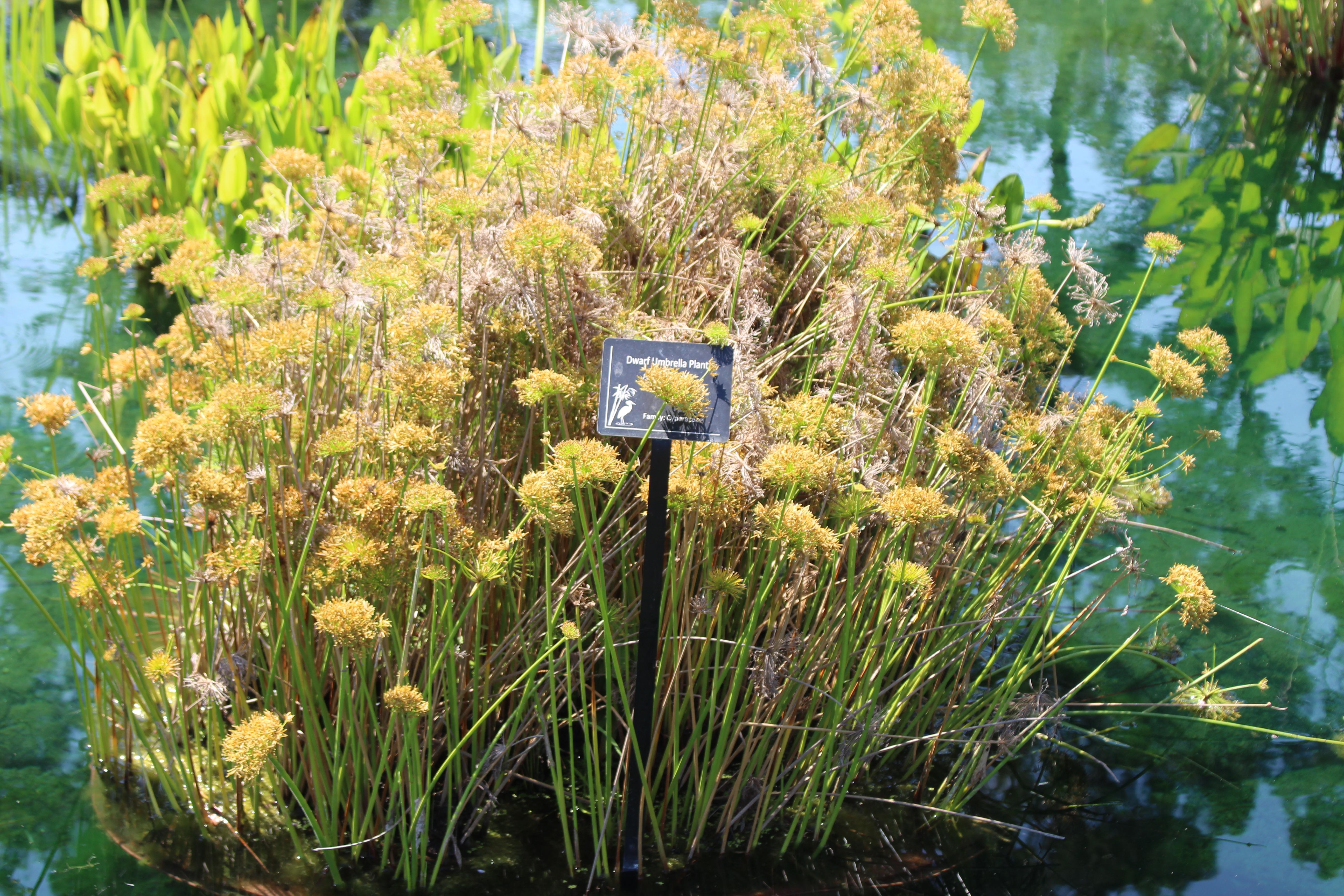 File:Coastal Georgia Botanical Gardens, Dwarf Umbrella Plant