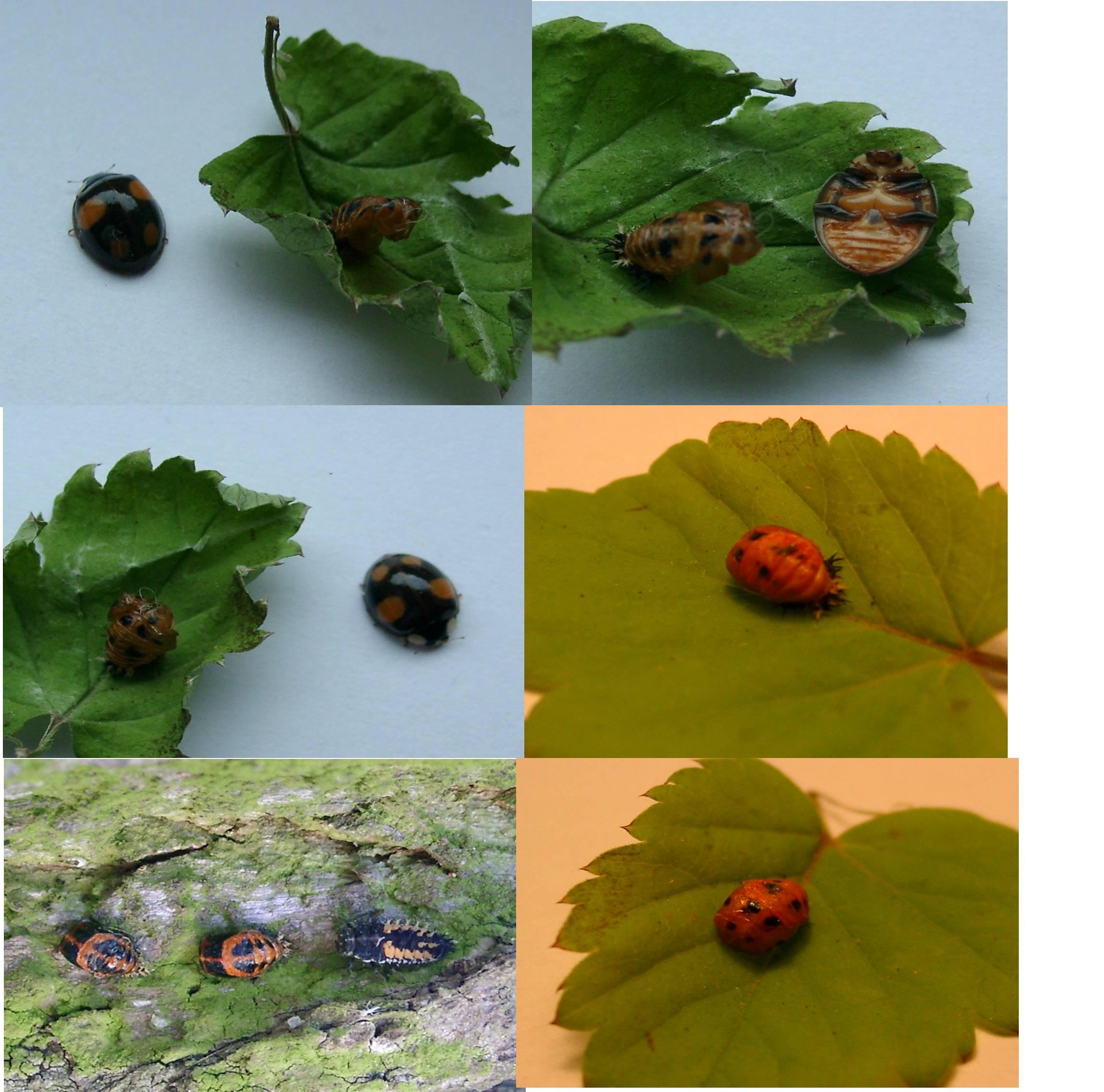 filecoccinellidae developmentjpg wikimedia commons
