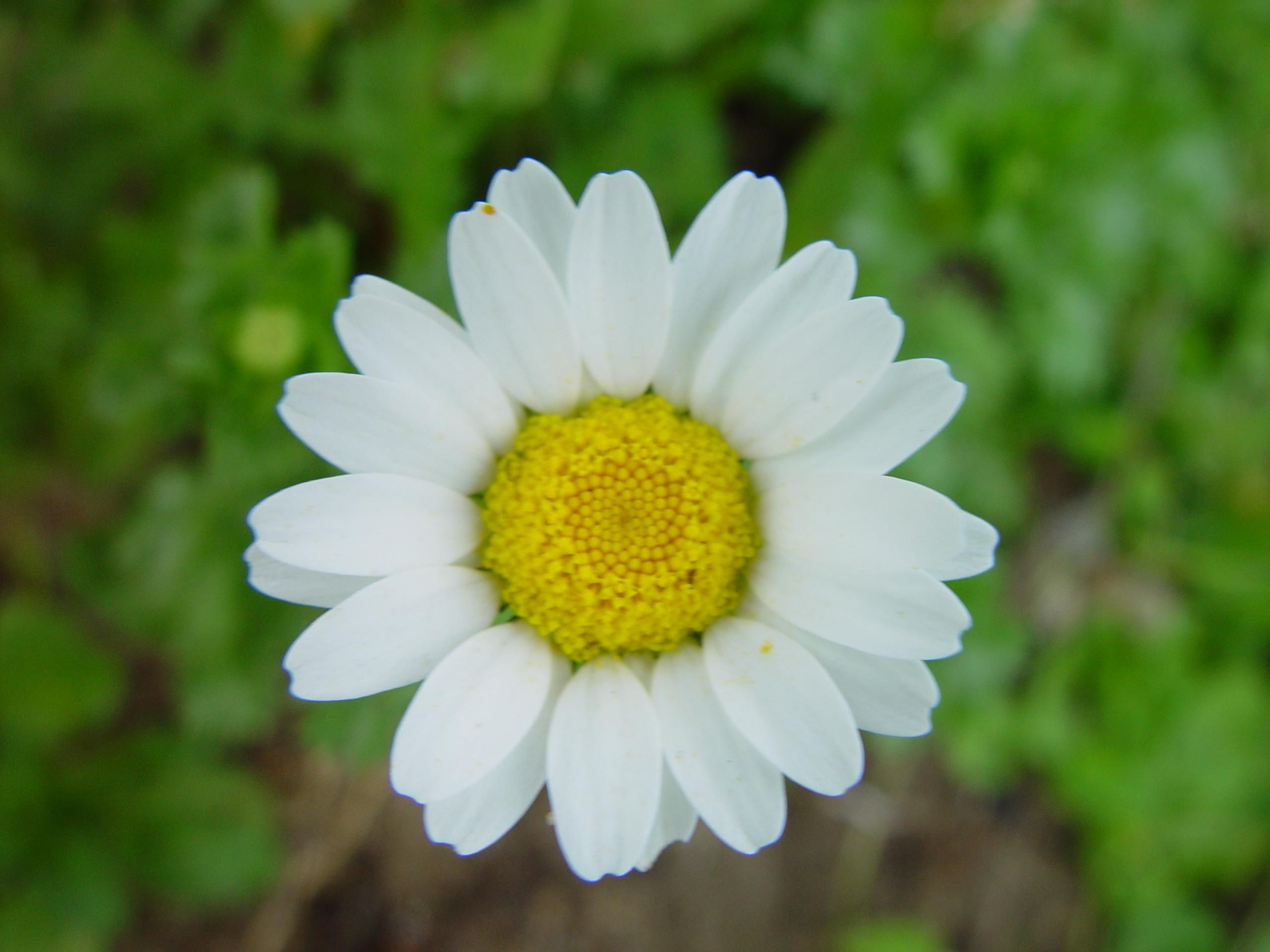 File Daisy flower green background Wikimedia mons