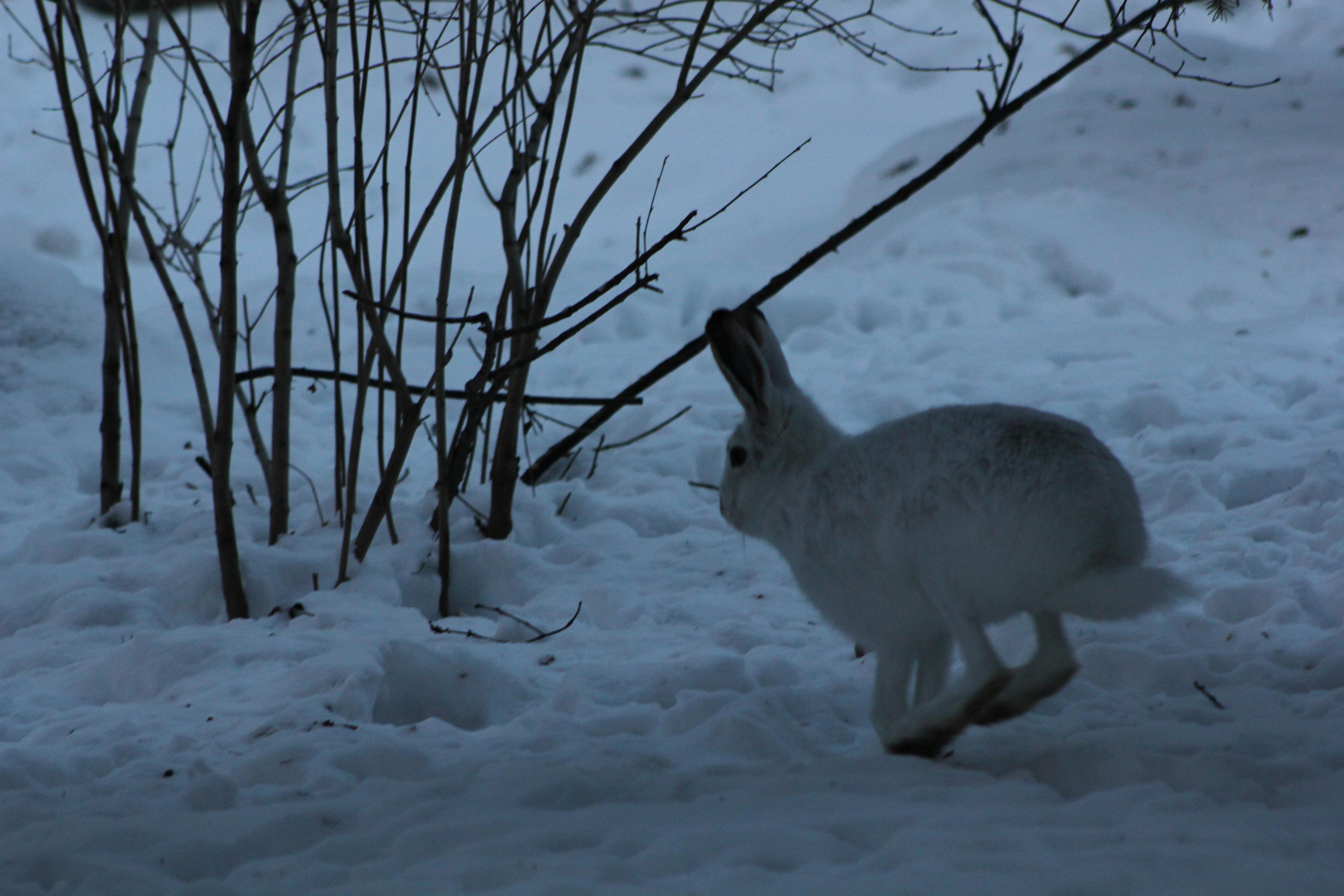 Description Edmonton Leporidae (winter 4).jpg