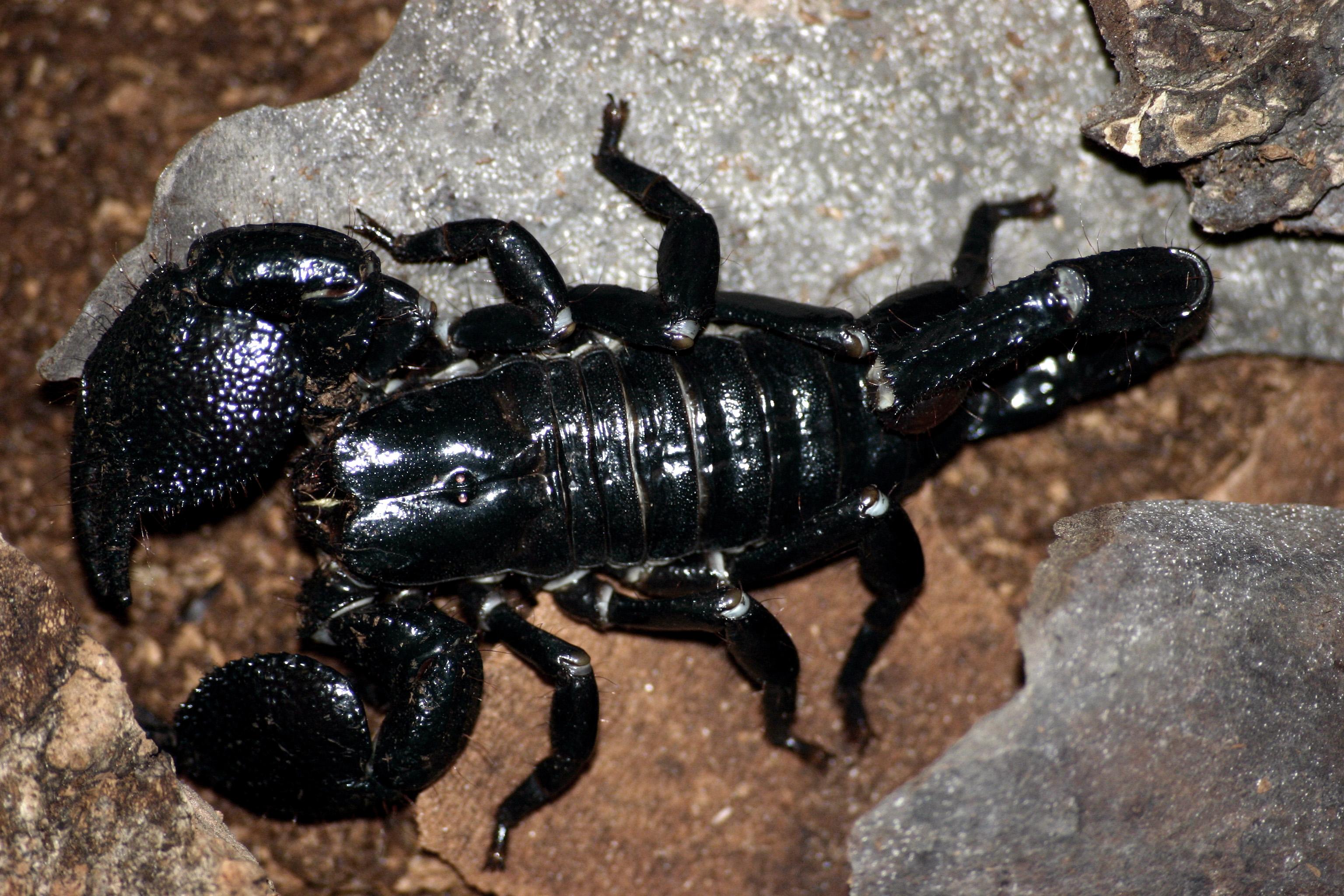 Aninimal Book: File:Emporer scorpion.jpg - Wikipedia