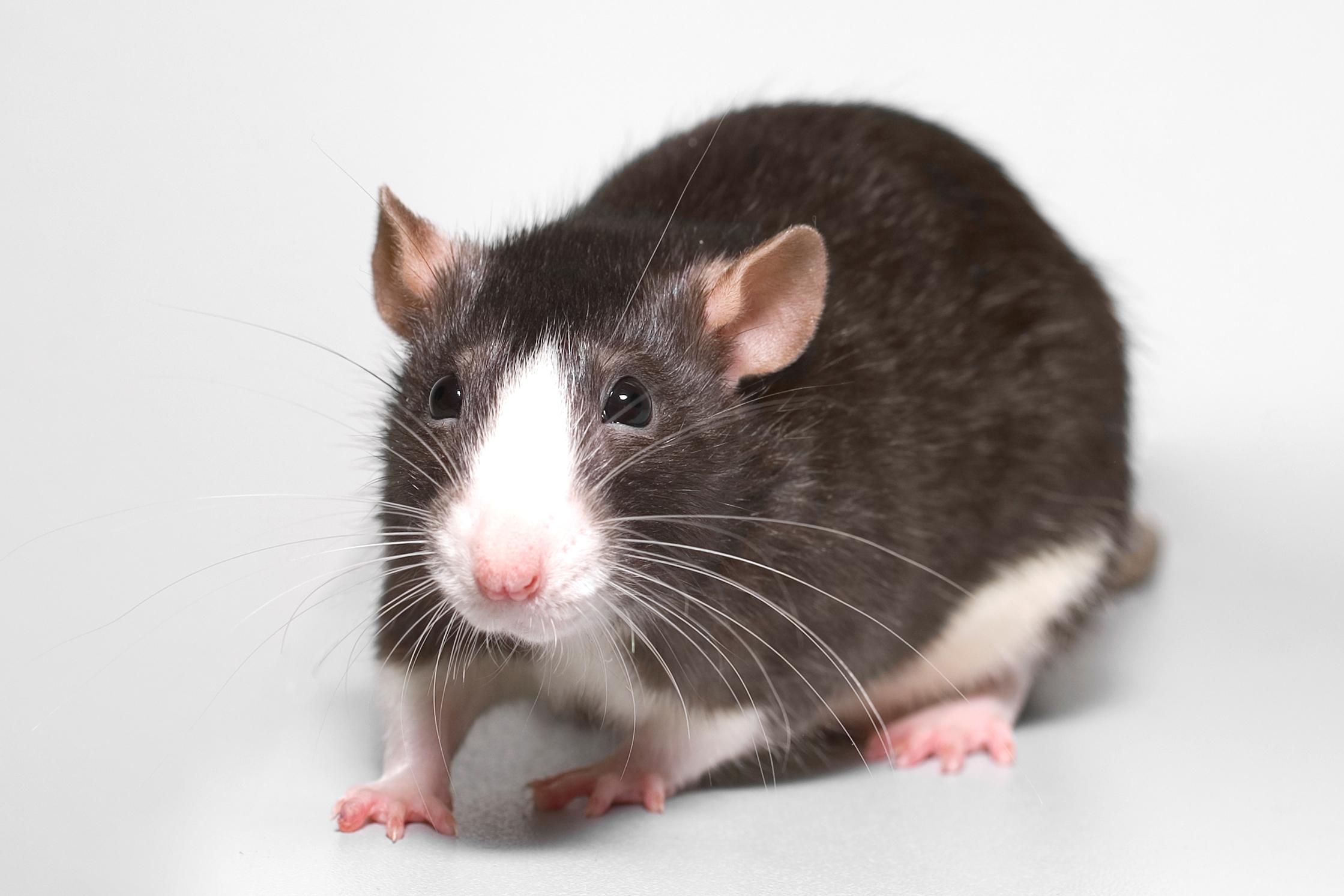 Fancy rats as pets - photo#46