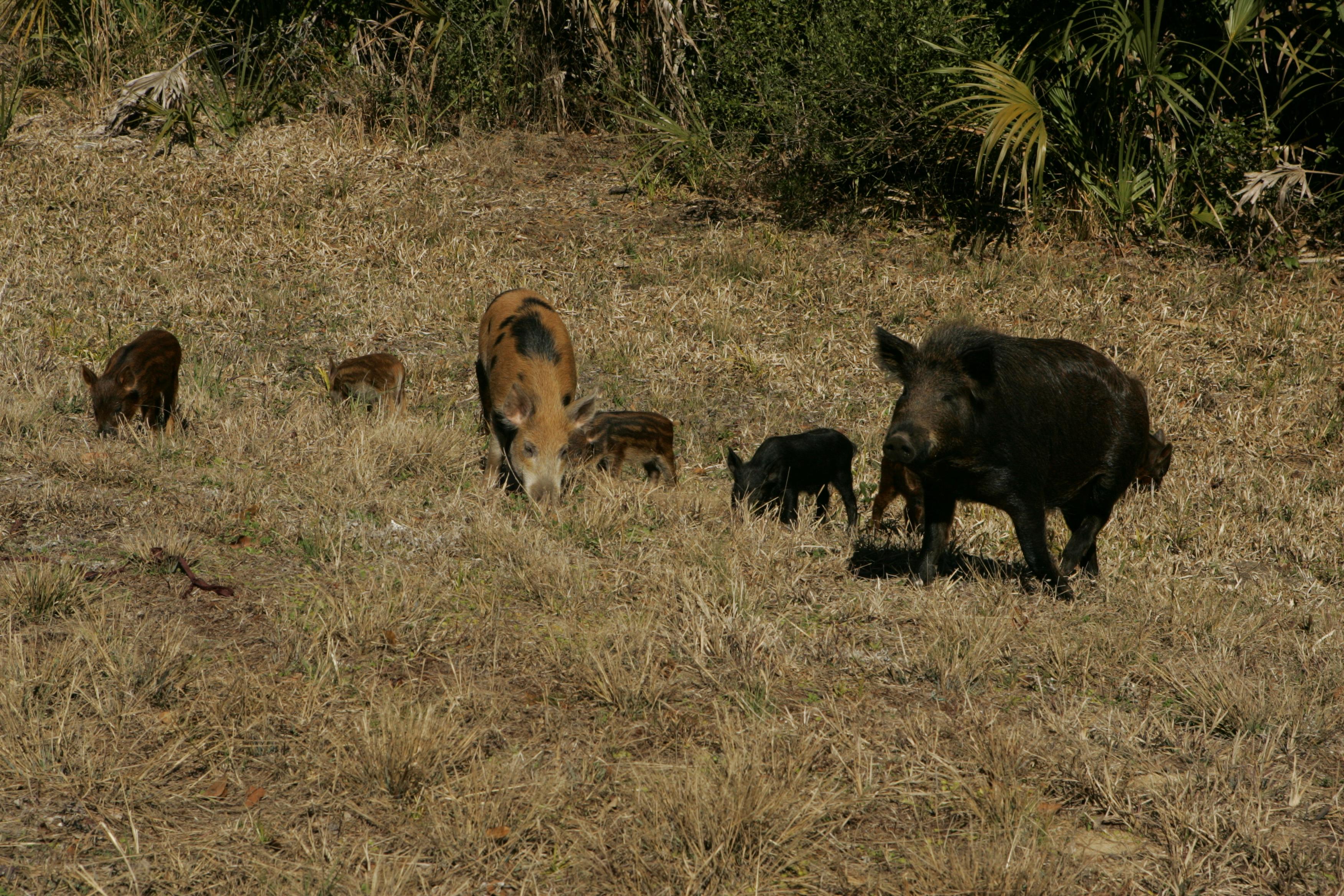 Wild Boar Hunting On Big Island