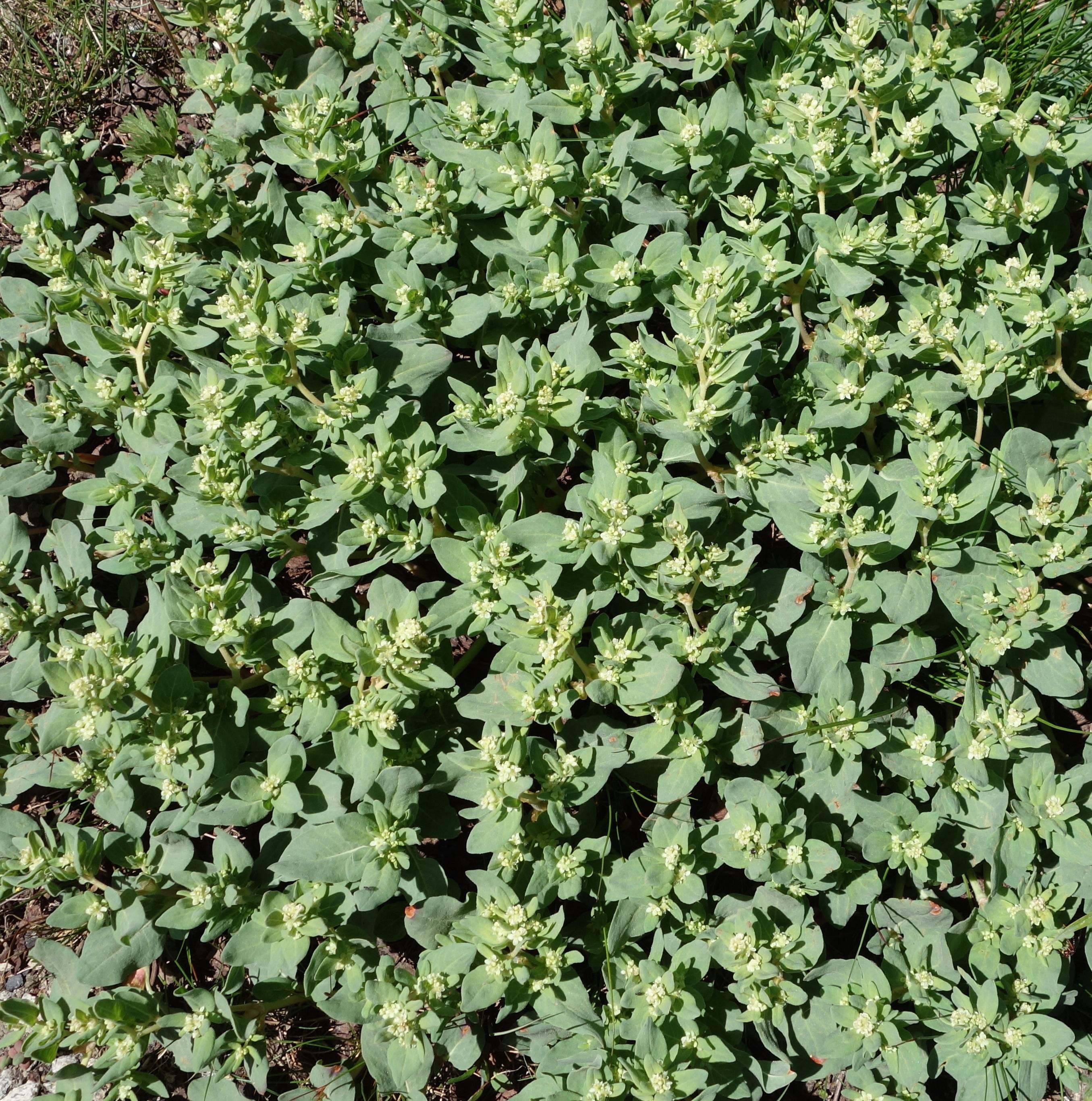 Filefleeceflower 16995850166g wikimedia commons filefleeceflower 16995850166g mightylinksfo