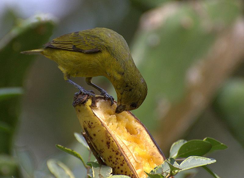 File:Flickr - Dario Sanches - Série com GATURAMO-VERDADEIRO - fêmea ( Euphonia violacea) * 3-5 *.jpg