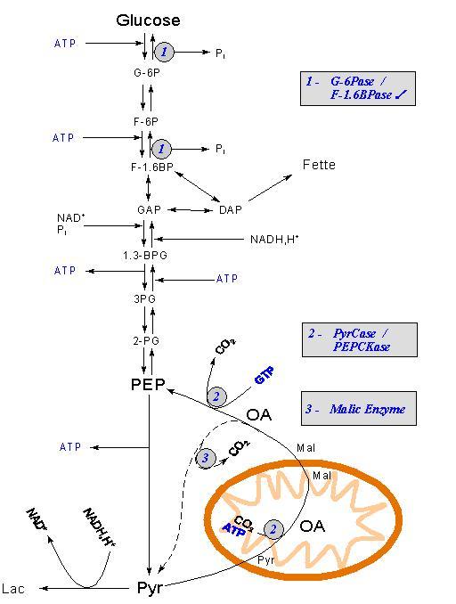 Schemat glukoneogenezy