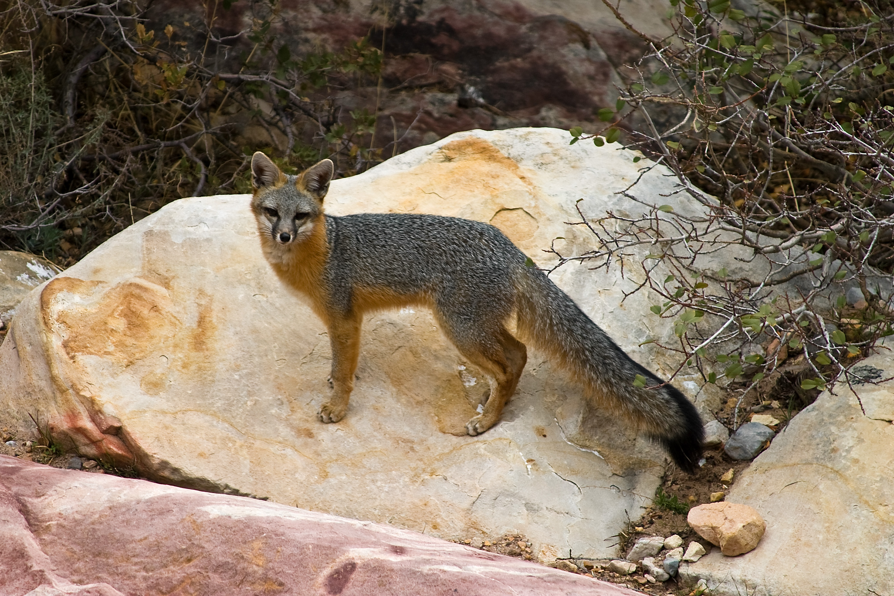 http://upload.wikimedia.org/wikipedia/commons/f/fd/Gray_Fox_-_Red_Rock_Canyon,_Nevada.jpg