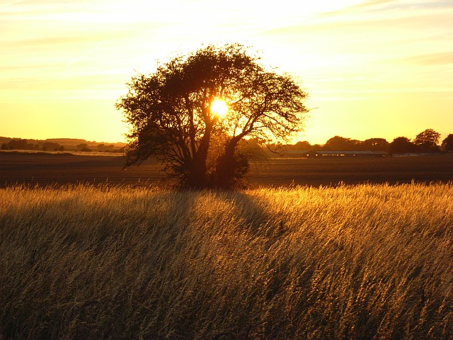 File:Hawthorn and grass in the setting sun near Blewbury - geograph.org.uk - 503385.jpg