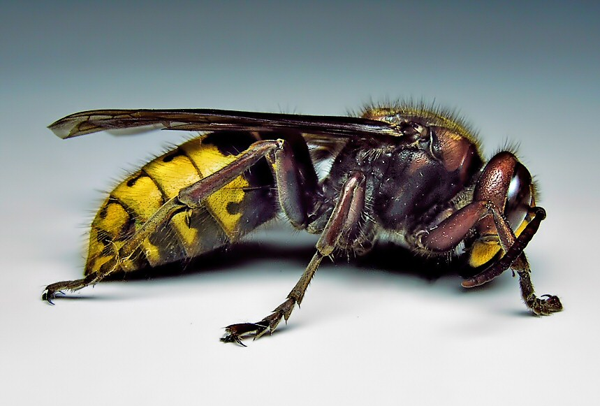Photography Thread Hornet-vespa