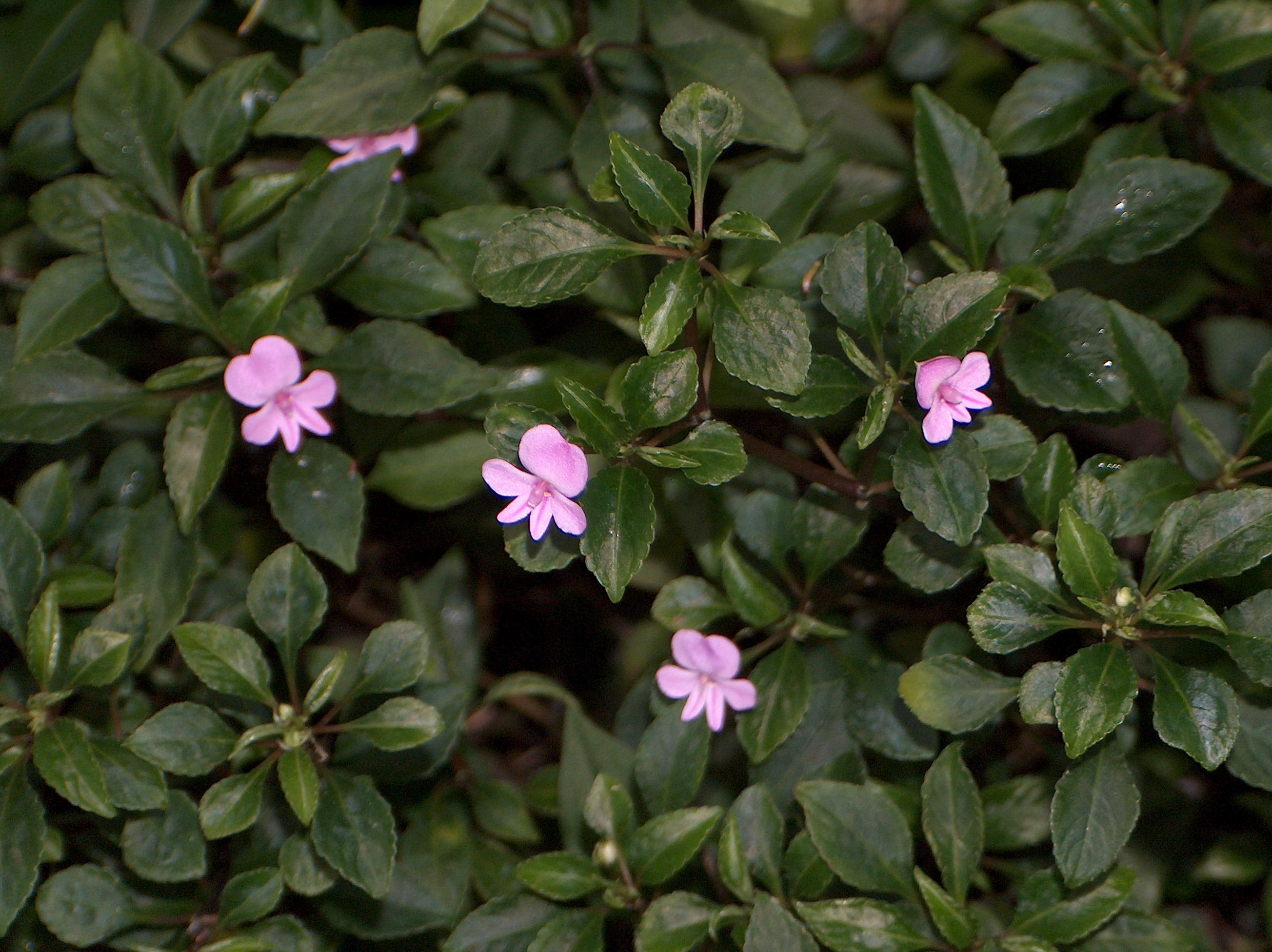 File Impatiens pseudoviola flores et folia