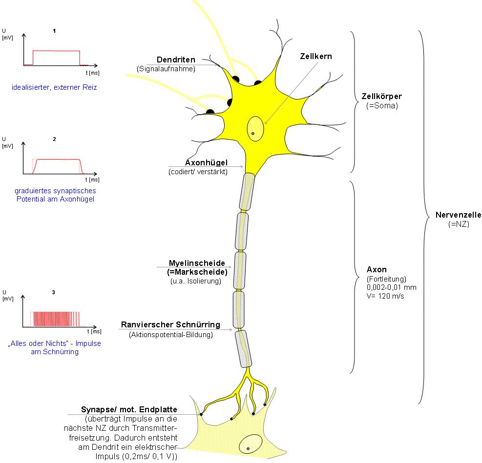 Zellkörper