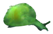 A live individual of an unidentified species of bivalved gastropod in the family Juliidae