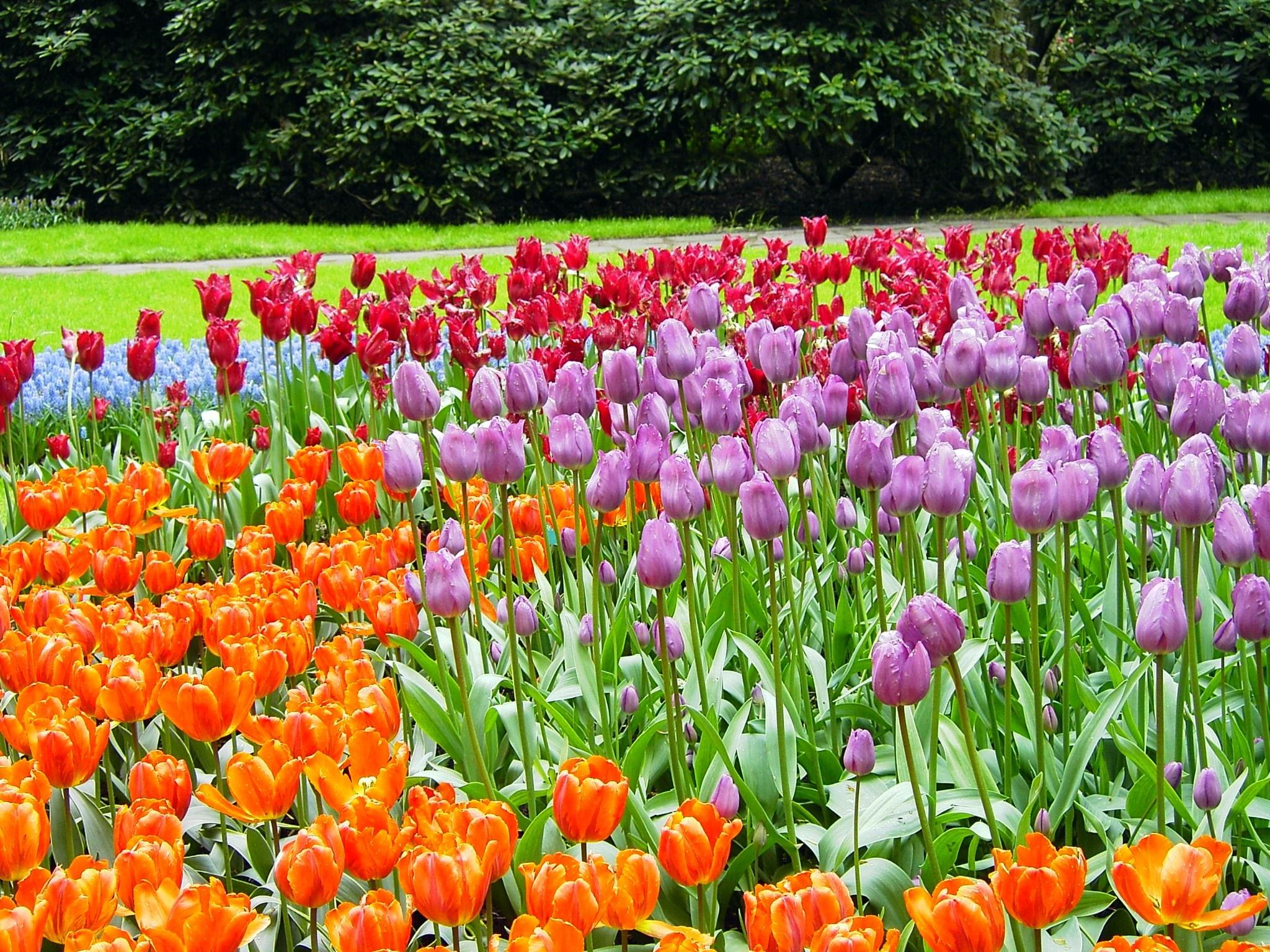 File keukenhof holanda 002 jpg wikimedia commons - Jardines de tulipanes en holanda ...
