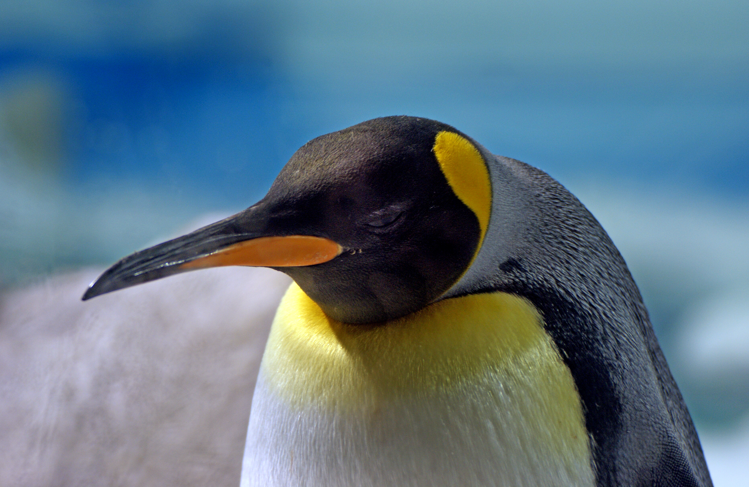 King Penguin. (12065911556).jpg King penguins are slightly smaller and lighter than their southern relative, the emperor penguin, making them