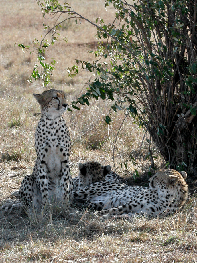 http://upload.wikimedia.org/wikipedia/commons/f/fd/Maasai_Mara_Cheetah_2.jpg