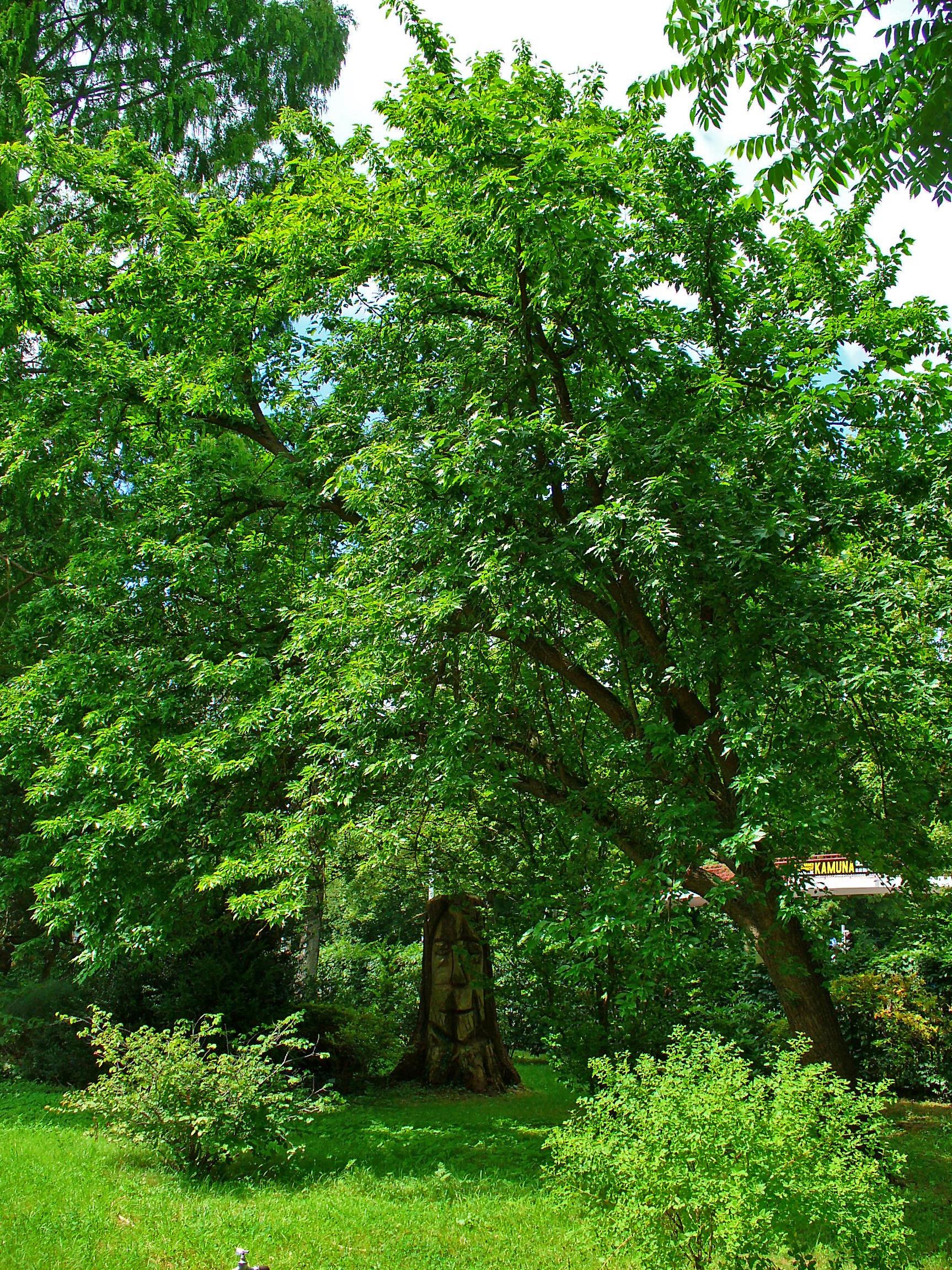filemaclura pomifera 001jpg wikimedia commons