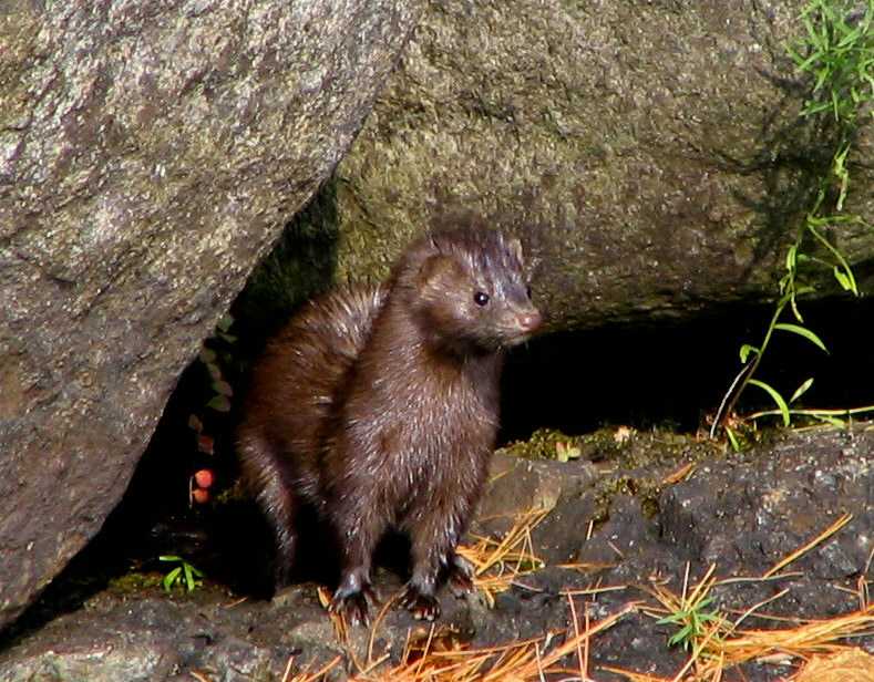 Hunting Mink in iceland