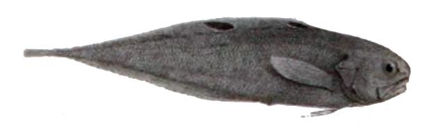Neobythites ocellatus.jpg © Unknown