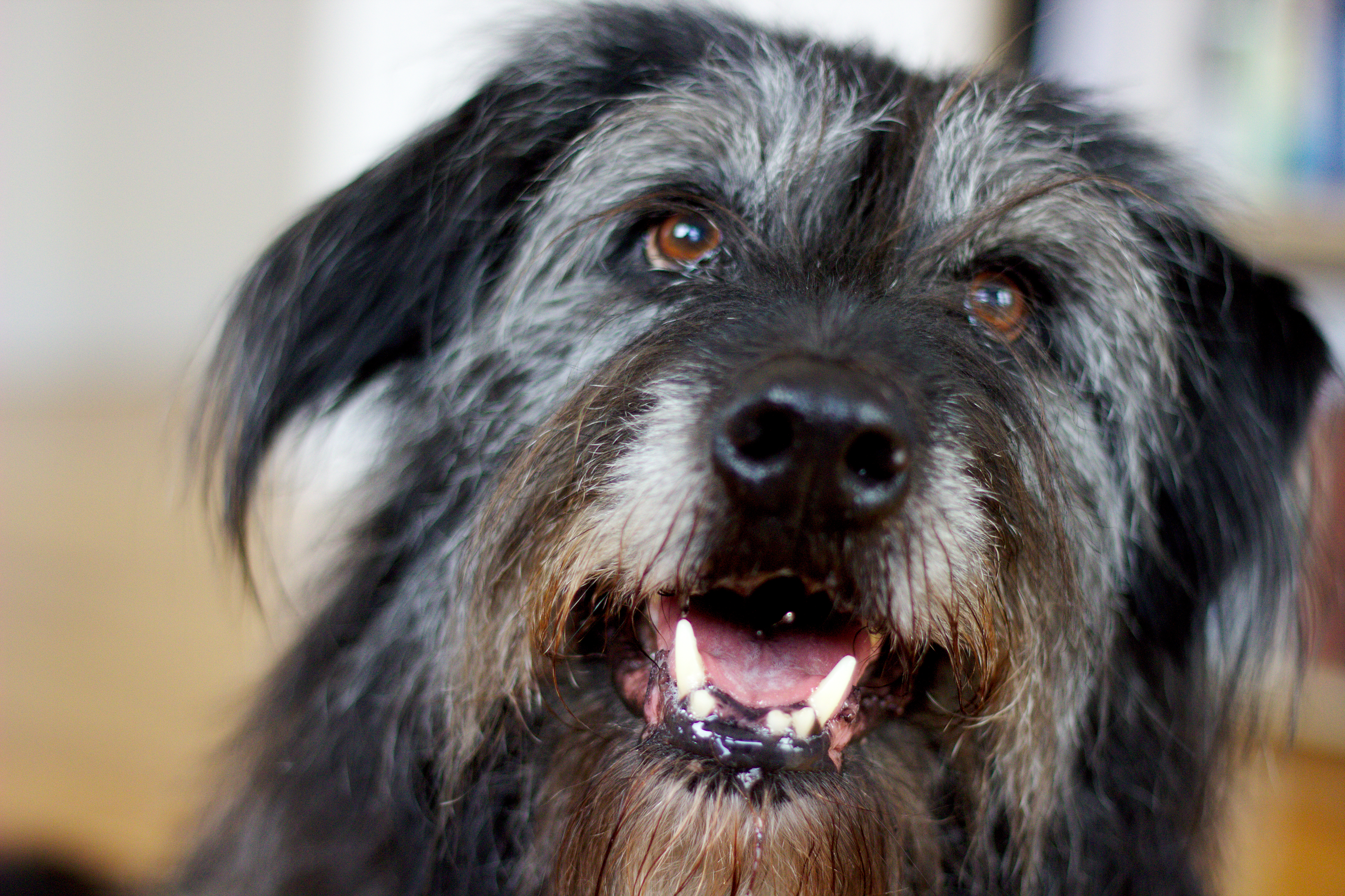 Shaggy Dog Breeds