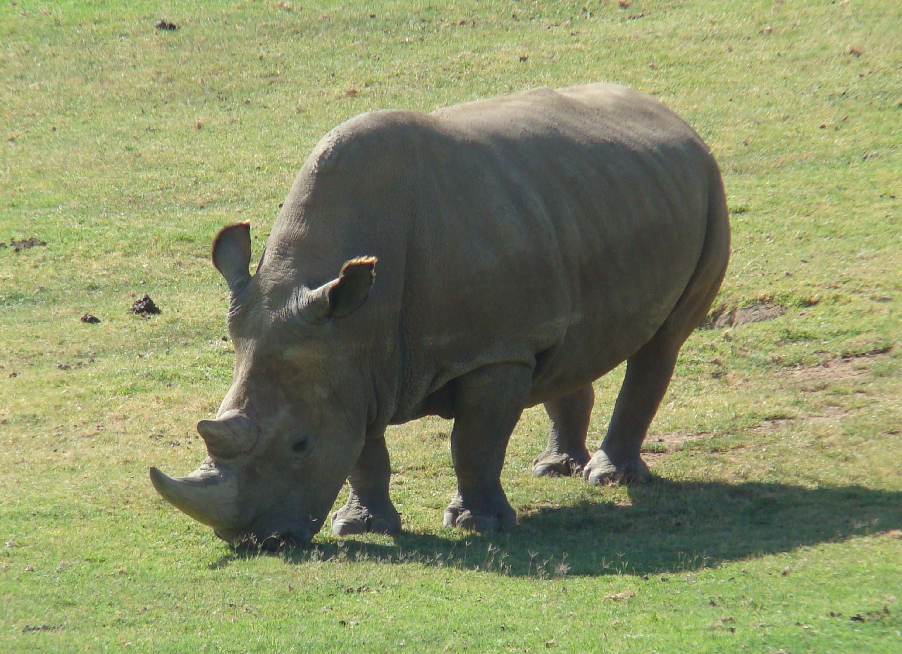 Northern white rhinoceros - Wikipedia