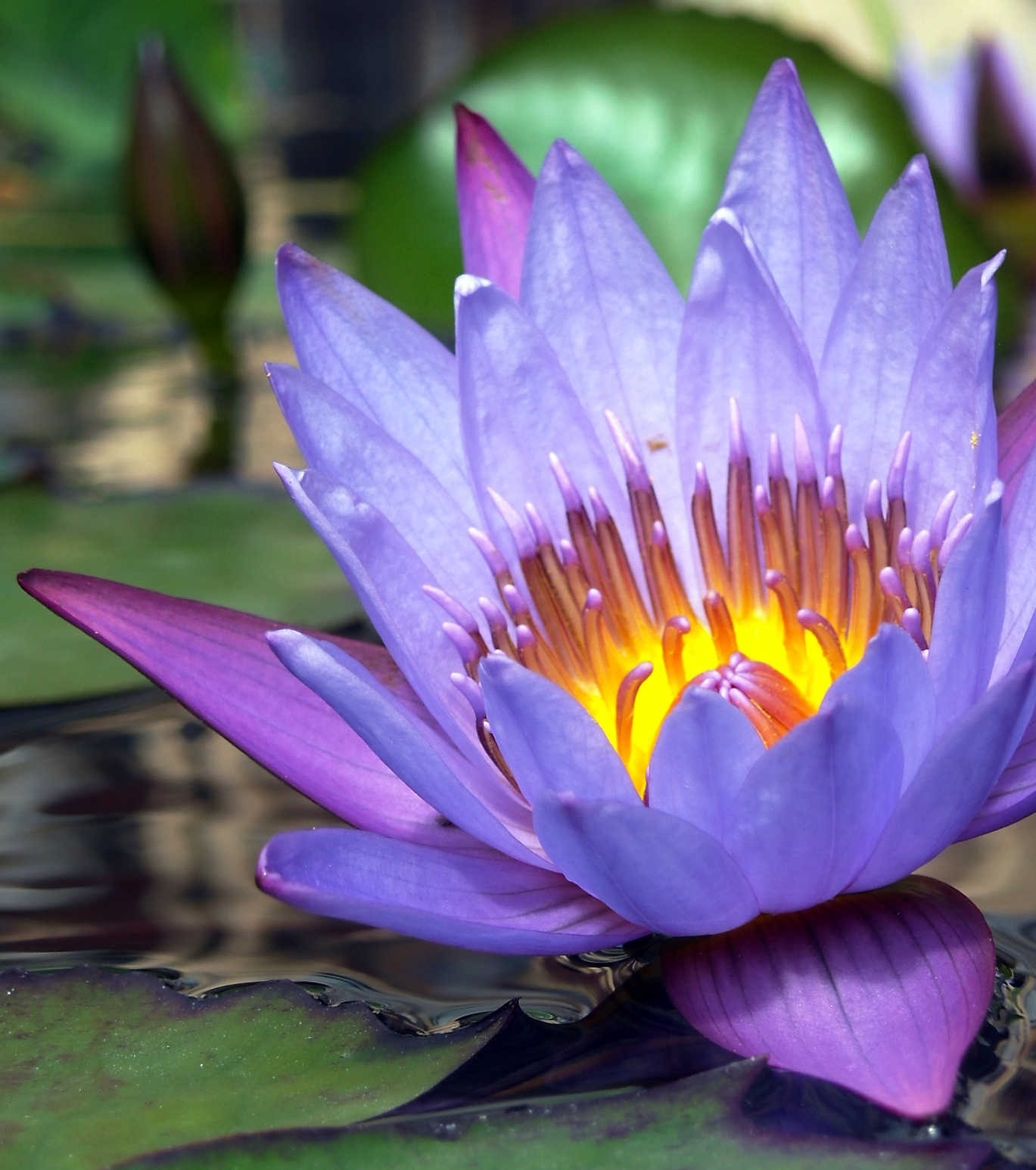 Lotus flower wikipedia free encyclopedia wallpaperscraft filenymphaea cultivar flowering sanya city in hainan nymphaeaceae wikipedia mightylinksfo