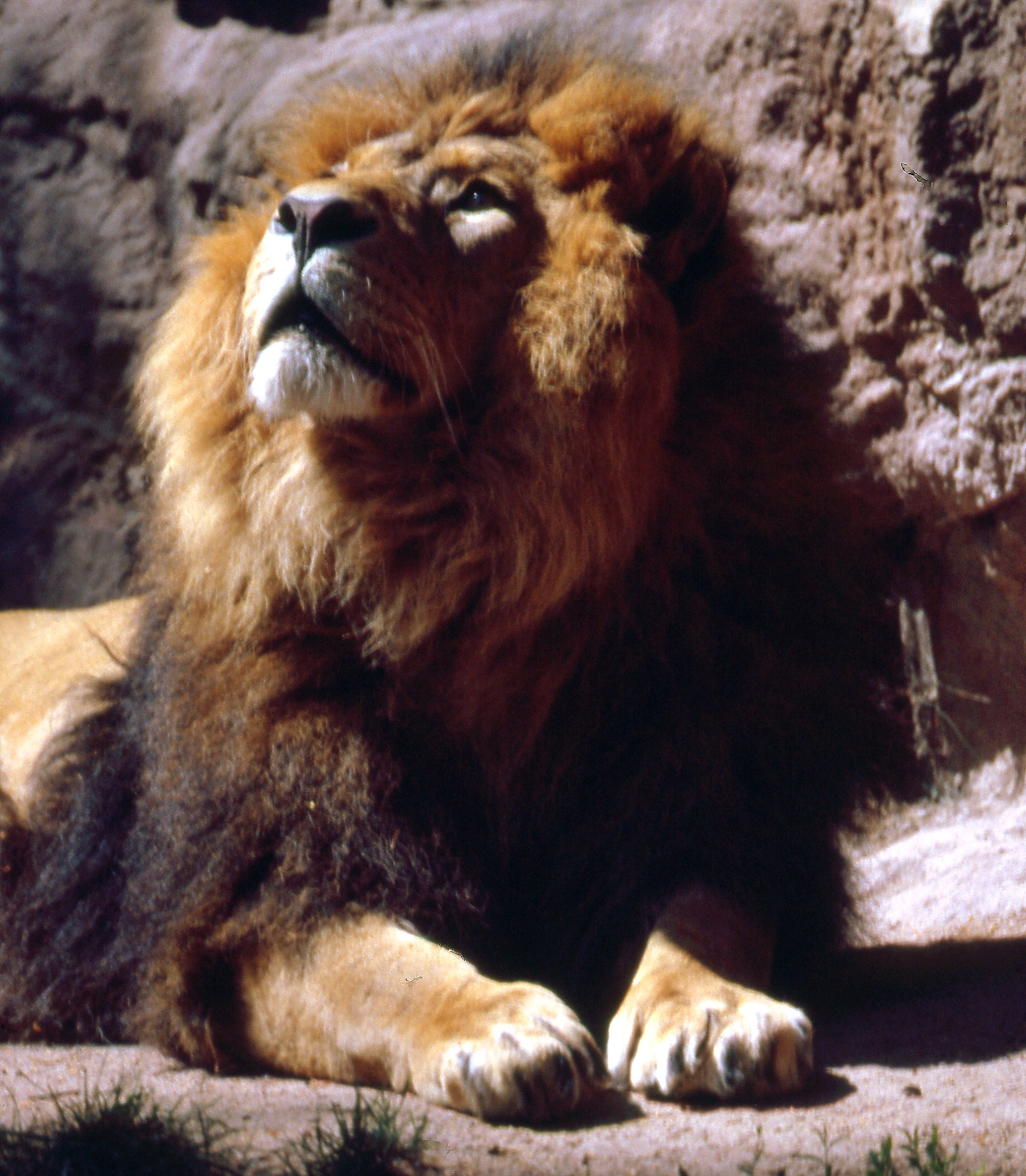 Panthera leo persica - photo#1