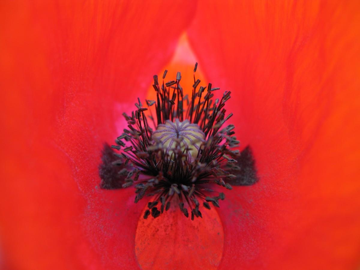 Filered poppy flower west virginia forestwanderg wikimedia filered poppy flower west virginia forestwanderg mightylinksfo Images