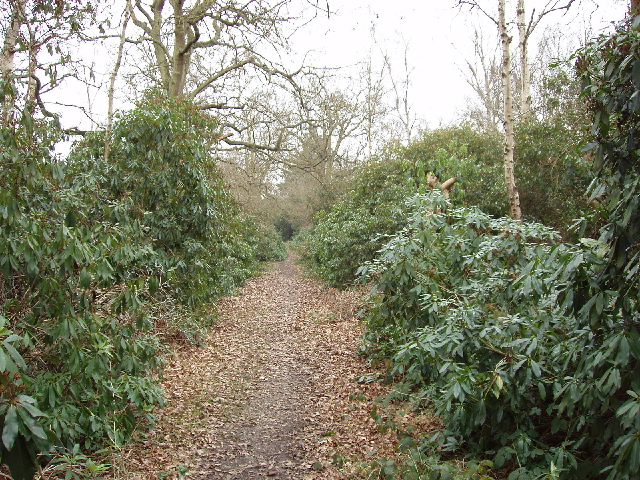Rhododendron Walk in Oxhey Woods - geograph.org.uk - 116482