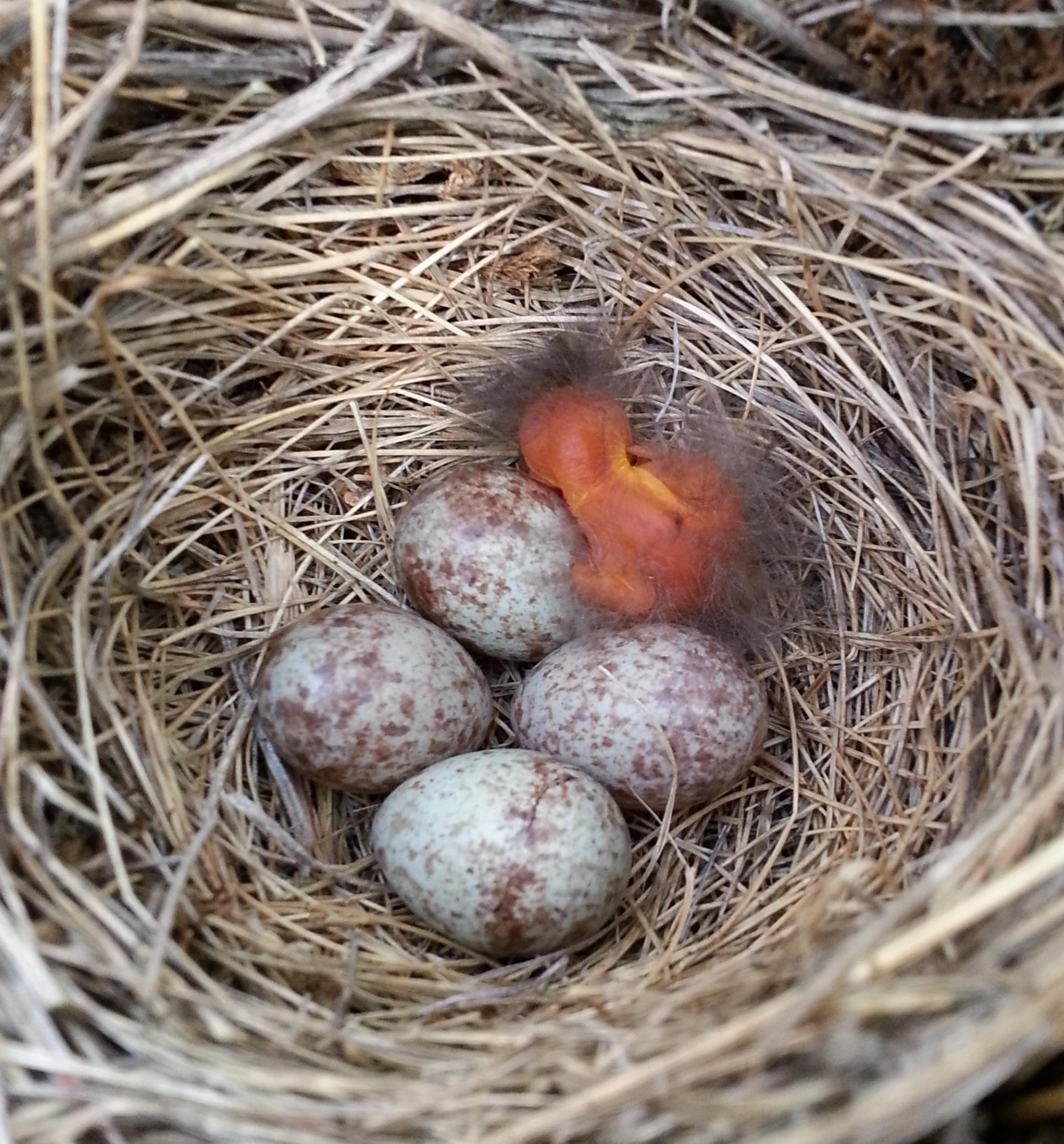 Sparrow Eggs Hatch