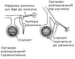 Статоцист у складі ропалію