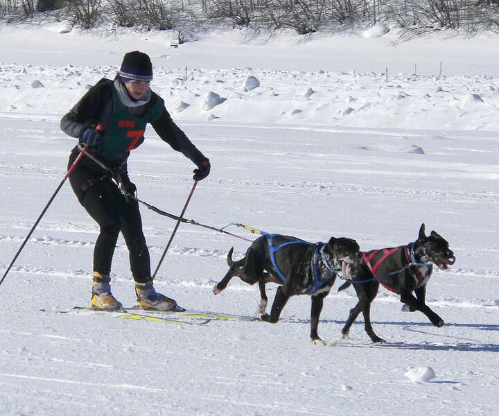 Dogs And Owner Skijoring