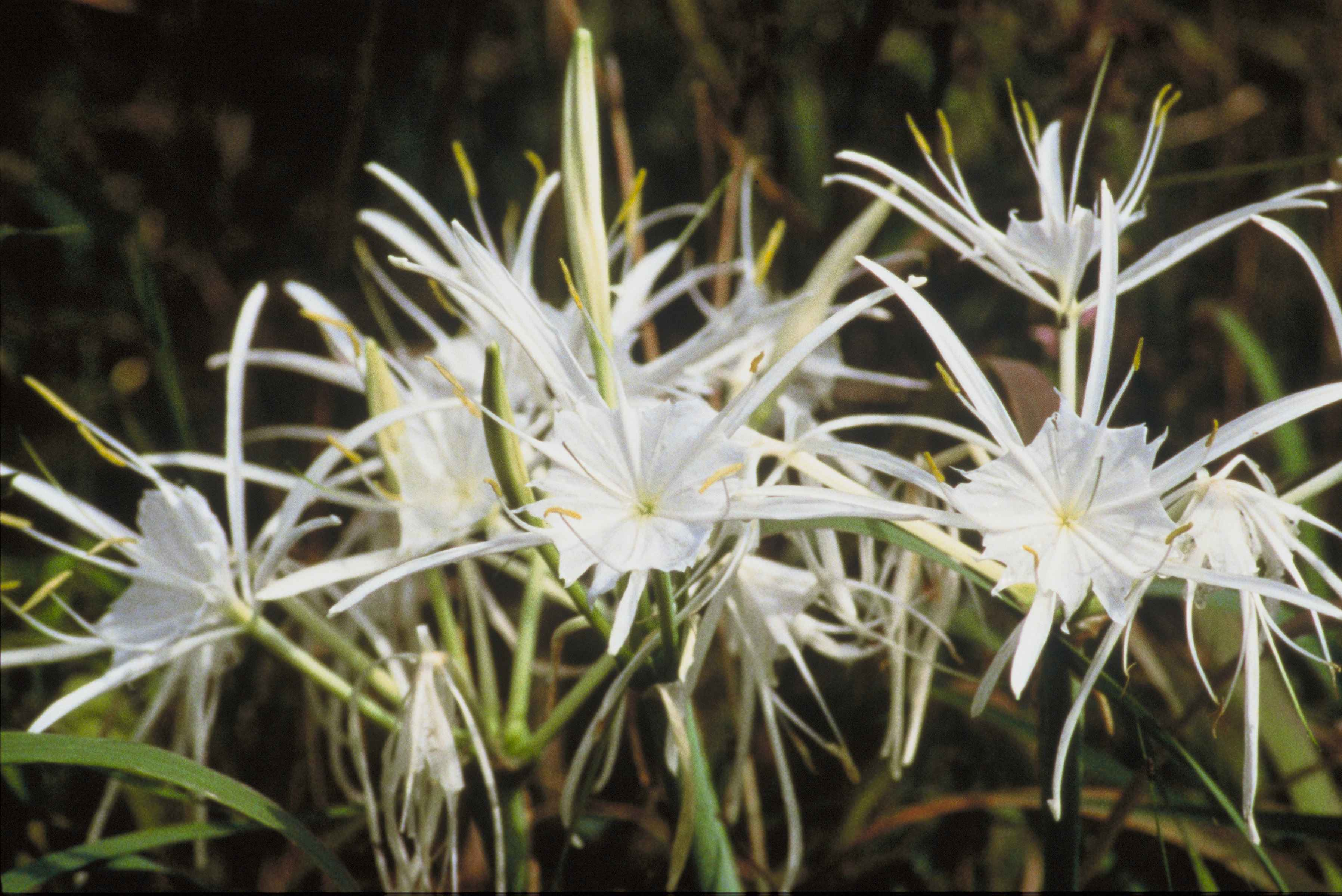 Filespider Lilies Plants Higanbana With White Flowersg