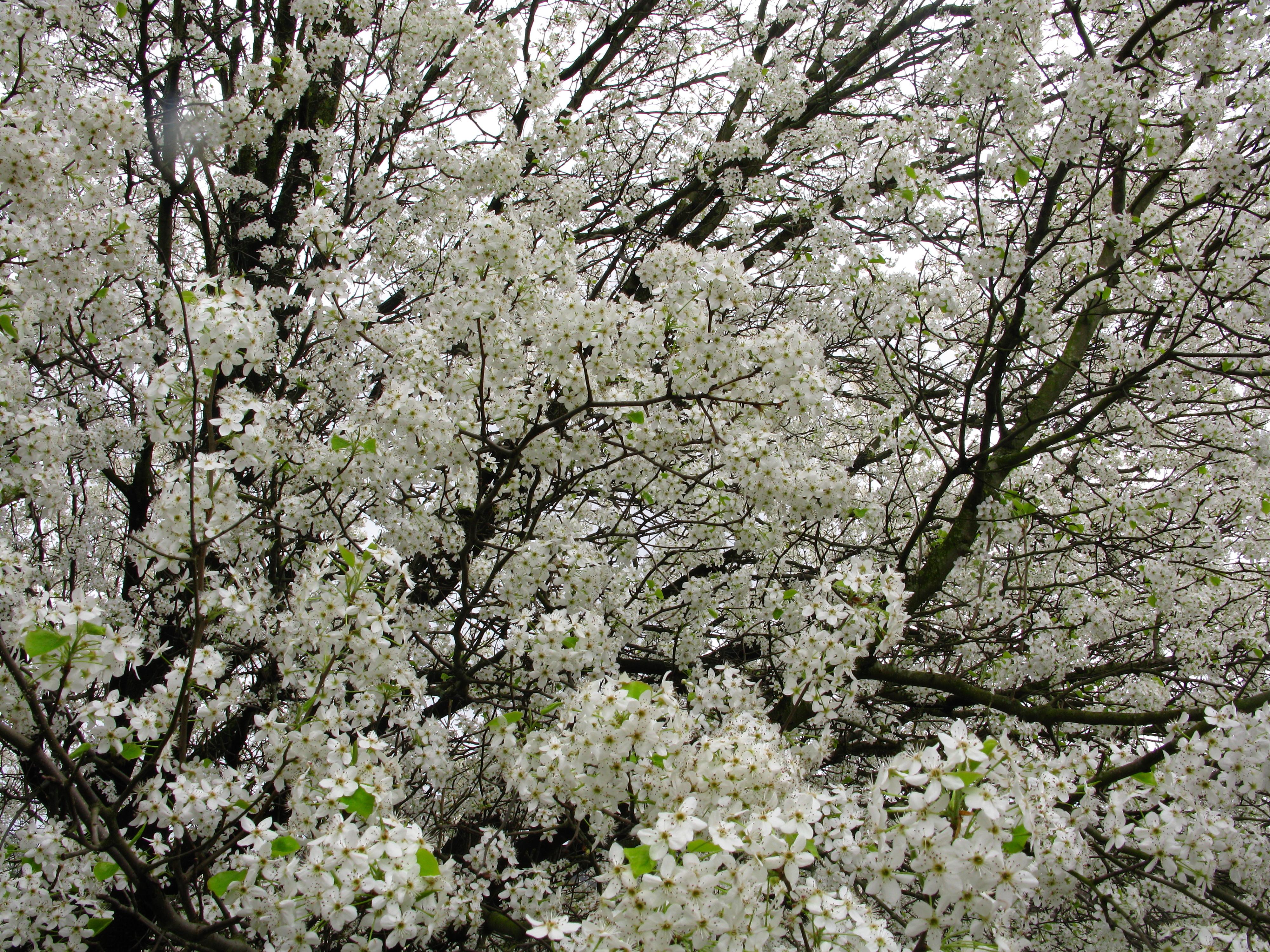 File Spring tree flowers white West Virginia ForestWander Wikimedia