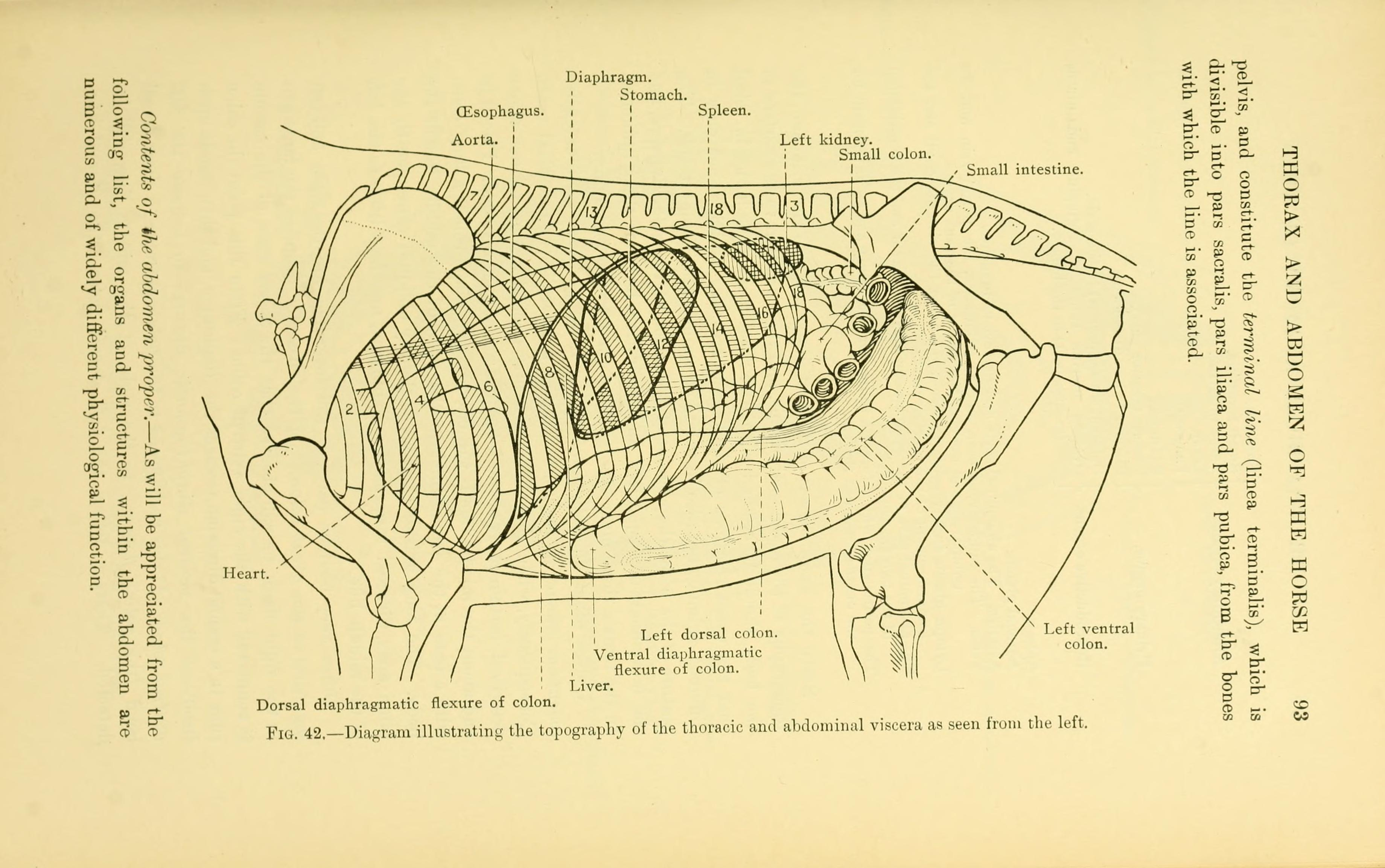 File:The topographical anatomy of the thorax and abdomen of the ...