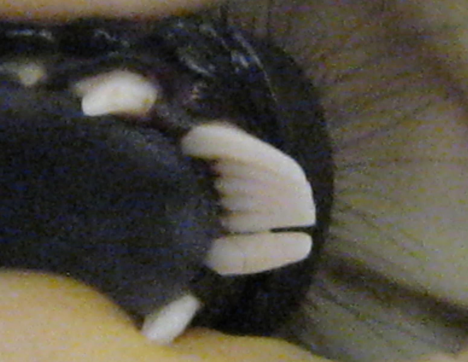 Varecia variegata toothcomb.jpg