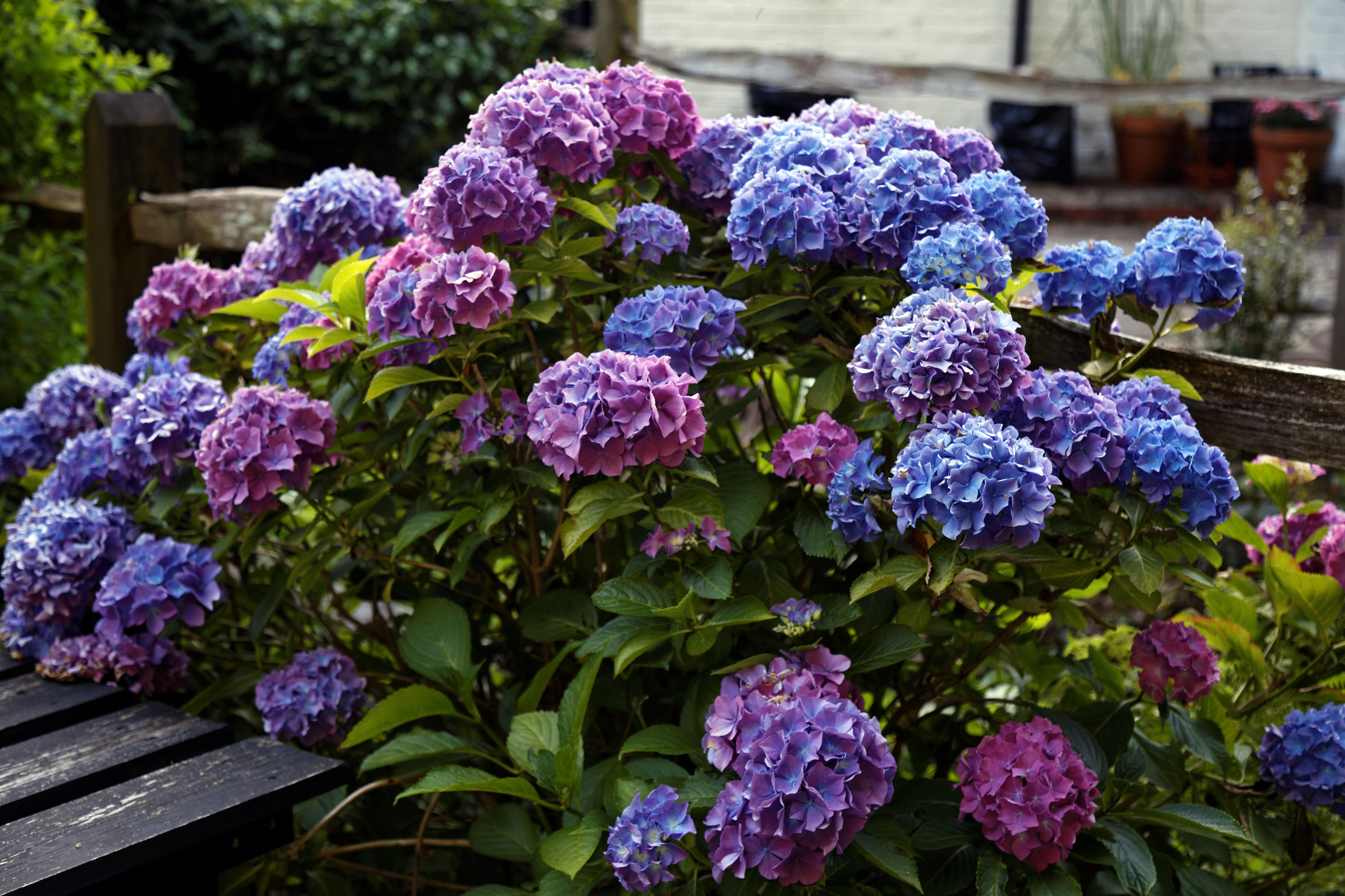file 39 hydrangea macrophylla 39 hortensia in a beer garden at nuthurst west sussex. Black Bedroom Furniture Sets. Home Design Ideas