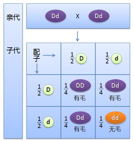 棋盘法分析基因分离定律事例.PNG
