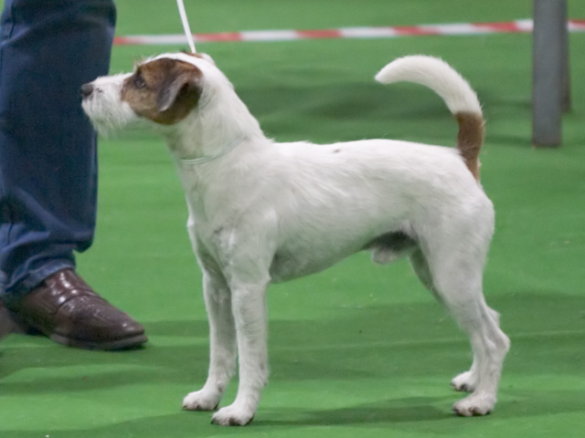 Jack Russell Terrier Westminster Dog Show